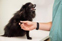 Veterinarian examining dog's paw. Close-up of veterinarian examining dog's paw - greeting pet Stock Photos
