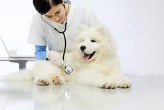 Veterinarian examining dog on table in vet clinic. Veterinarian examining dog on blank table in vet clinic royalty free stock photo