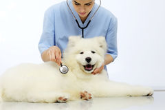 Veterinarian examining dog on table in vet clinic Stock Images