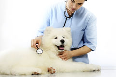 Veterinarian examining dog on table in vet clinic Royalty Free Stock Photo