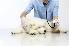 Veterinarian examining dog on table in vet clinic. Showing stethoscope Royalty Free Stock Images