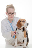 Veterinarian examining dog. Veterinarian or vet examining pet dog stock image
