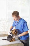 Veterinarian examining dog. Yang veterinarian examining with statescope small dog Stock Photography