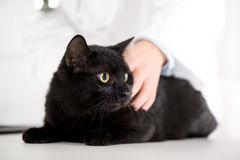 Veterinarian examining a domestic cat Stock Photography