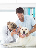 Veterinarian examining ear of dog Stock Images