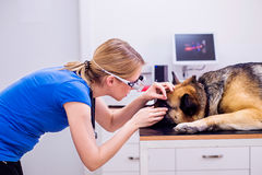 Veterinarian examining German Shepherd dog with sore eye. Young blond woman working at Veterinary clinic royalty free stock photography
