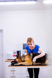 Veterinarian examining German Shepherd dog with sore stomach. Young blond woman working at Veterinary clinic Stock Image