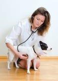 Veterinarian examining jack russell terrier Stock Photo