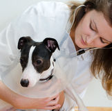 Veterinarian examining dog Stock Photography