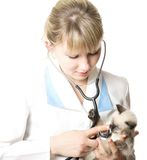 Veterinarian examining   kitten Royalty Free Stock Photography