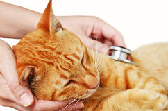 Veterinarian examining a kitten Stock Images