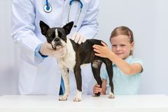 A veterinarian examining a little Boston Terrier dog in the pres. Ence of a young girl owner Stock Photo