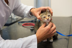Veterinarian examining little cat Royalty Free Stock Photo