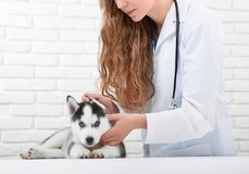 Veterinarian examining little husky puppy. Cropped shot of a professional vet examining ears of a little cute husky puppy professionalism occupation job concept stock photo