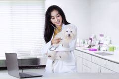 Veterinarian is examining a maltese dog. Portrait of beautiful young veterinarian using stethoscope to examine a maltese dog in the clinic Stock Image