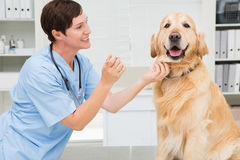 Veterinarian examining mouth of a cute dog Stock Images