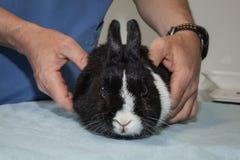Veterinarian examining a rabbit Royalty Free Stock Photo