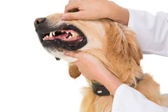 Veterinarian examining teeth of a cute dog Royalty Free Stock Photo