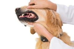 Veterinarian examining teeth of a cute dog Royalty Free Stock Photo