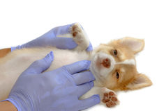 Veterinarian exams chihuahua puppy for checking health royalty free stock photos