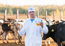Veterinarian at farm cattle. Funny veterinarian doctor with bio samples at the farm cattle cows stock photography