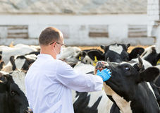 Veterinarian at  farm cattle Royalty Free Stock Photography