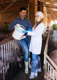 Veterinarian and farmer in pigsty. Portrait of positive female veterinarian and male farmer talking about all-mash forage for animals in pigsty Stock Images