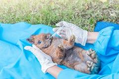 The veterinarian feeding medicine to rabbit by syringe Royalty Free Stock Image