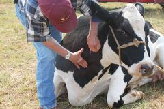 Veterinarian Finding the Cow's Vein. Large animal vet finding the vein to use to insert the IV on a sick cow stock images