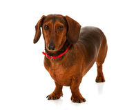 Veterinarian: Friendly Daschund Dog Royalty Free Stock Images