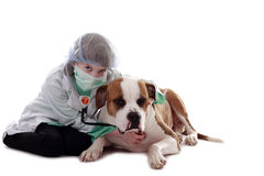 Veterinarian Girl. A girl listens to a dog's heartbeat with her stethoscope Royalty Free Stock Photo