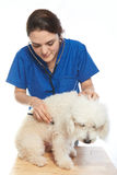 Veterinarian girl with poodle dog Royalty Free Stock Photo