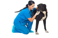 Veterinarian give pill to a big dog stock image