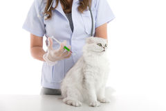 Veterinarian is giving a cat a vaccination Stock Image