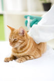 Veterinarian giving injection insulin to a cat Royalty Free Stock Images