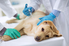 Veterinarian giving injection to a dog Stock Photography