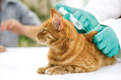 Veterinarian giving injection to a little cat Royalty Free Stock Image