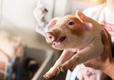 Free Veterinarian Giving Injection To Piglet Royalty Free Stock Images - 148503389