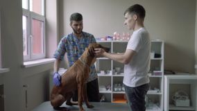 Dog sits on a table in a veterinary clinic. A veterinarian in gloves strokes the dog while she is sitting on the table. The owner of the dog stands nearby and stock footage