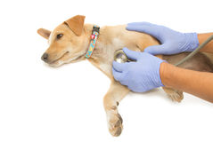 Veterinarian hand examining a puppy Royalty Free Stock Photography