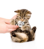 Veterinarian hand examining a scottish kitten. isolated on white Royalty Free Stock Images