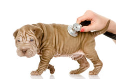 Veterinarian hand examining a sharpei puppy dog. Royalty Free Stock Image