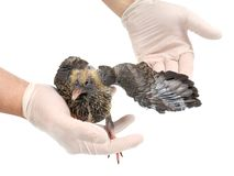 Veterinarian hand and wing of a pigeon Royalty Free Stock Photo