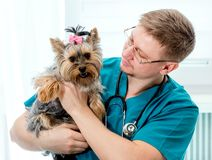 Veterinarian holding dog on hands at vet clinic. Veterinarian doctor holding Yorkshire Terrier dog on hands at vet clinic. Pet care concept royalty free stock photo