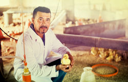 Veterinarian holding duckling on poultry farm. Portrait of man veterinarian holding little duckling on poultry farm Stock Photos