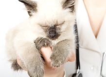 Veterinarian holding kitten. Veterinarian holding fluffy little kitten stock photo