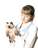 Veterinarian holding  kitten. Veterinarian holding  fluffy little kitten with blue eyes Stock Photos