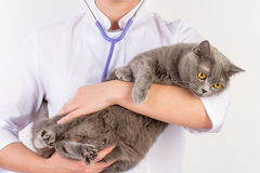 The veterinarian holds a cat in her arms royalty free stock photo