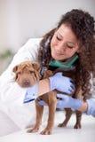 Veterinarian hugging  Shar Pei dog Stock Images