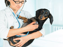 Veterinarian listens dog by stethoscope Stock Image
